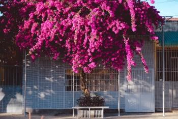 'Trầm trồ' trước cây hoa giấy 'siêu to, khổng lồ' hồng rực góc trời Kon Tum