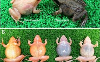 Loài ếch tống toàn bộ... dạ dày ra bên ngoài để đào thải thức ăn độc hại