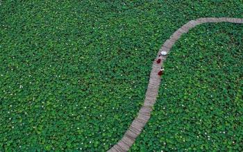 Khách quốc tế phát cuồng trước cảnh hoa sen bạt ngàn ở nơi này của Việt Nam