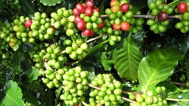 Giá cà phê hôm nay 27/7: Đồng loạt tăng cao, trong nước vượt 38.000 đồng/kg
