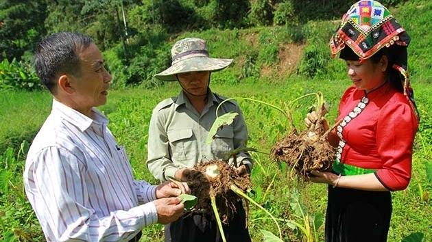 Sơn La: Đặc sản khoai sọ Thuận Châu